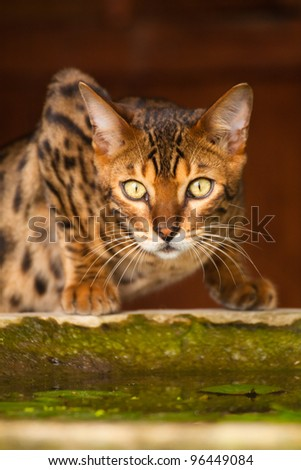 Surprised bengal cat - stock photo