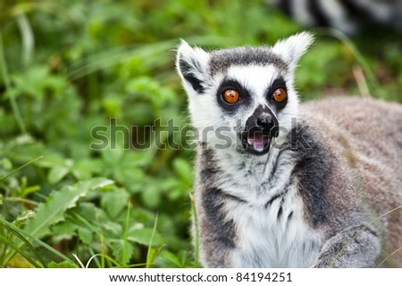 surprised lemur - stock photo