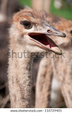 Surprised Ostrich - stock photo