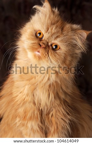 surprised Persian cat on a dark background - stock photo