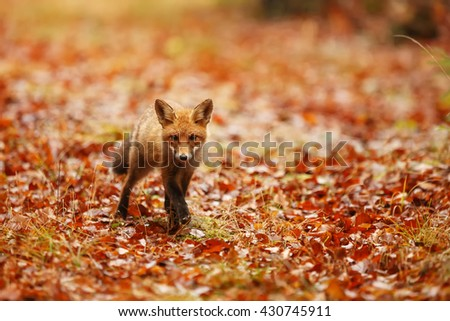 Surprised red fox in autumn leaves.