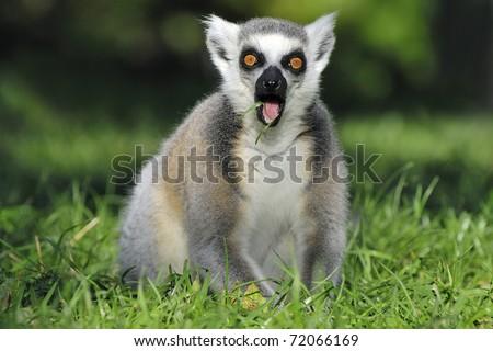 Surprised ringtailed lemur gasping - stock photo