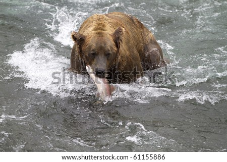 Surprised Salmon - A sockeye salmon become the surprise lunch for a grizzly bear at Katmai National Park, Alaska. - stock photo