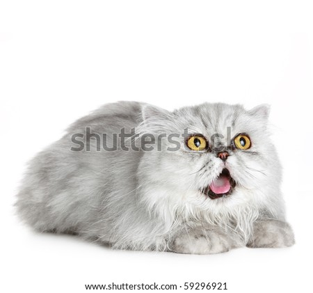 Surprised Siberian cat lies on a white background - stock photo