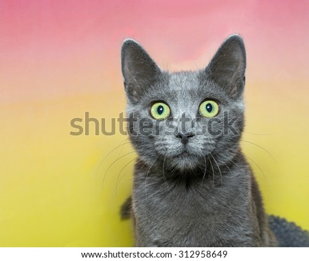 Surprised wide eyed grey short hair tabby cat with green eyes on a pink and yellow contrasting background - stock photo