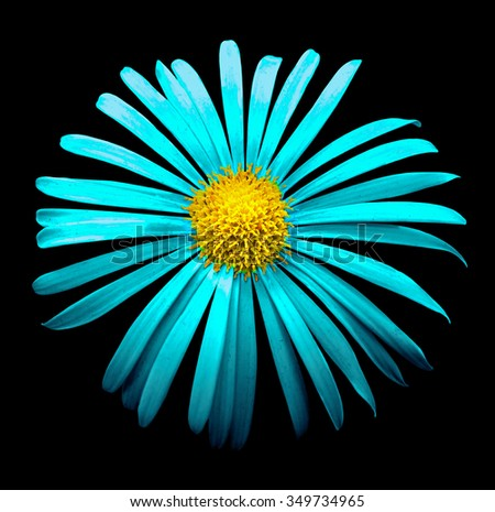 Surreal bright chrome cyan chrysanthemum flower macro isolated on black - stock photo