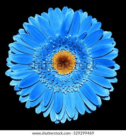 Surreal dark chrome blue gerbera flower macro isolated on black - stock photo