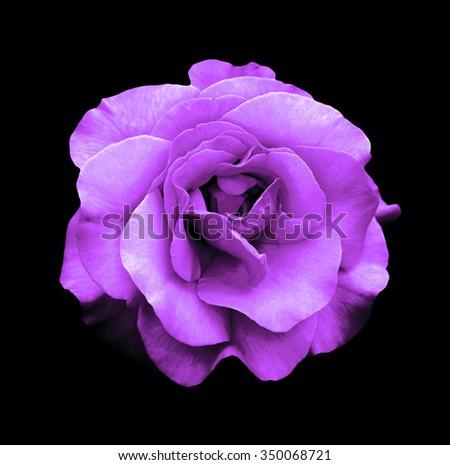 Surreal dark chrome purple rose flower macro isolated on black - stock photo