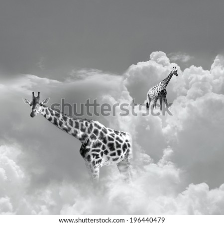 Surreal image representing two giraffe walking in the clouds in black and white - stock photo