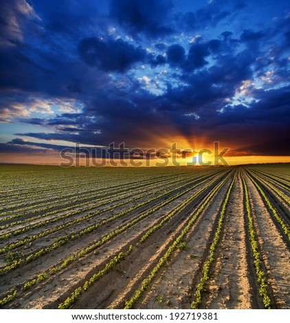 Surreal sunset over growing soybean plants at ranch field  - stock photo