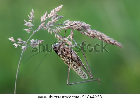 Suspended brown grasshopper on a dry-bent - stock photo