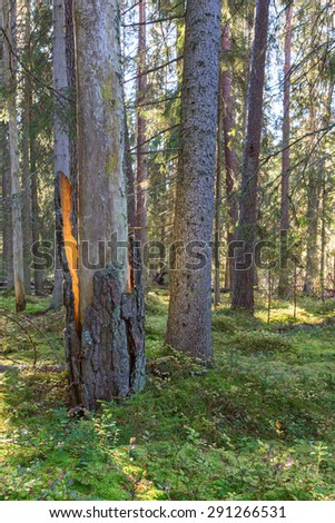 Suspot on the bark that cracked from the tree trunk - stock photo