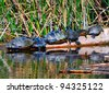 Suwannee River Cooter Turtles (Pseudemys concinna suwanniensis) Sunbathing on a Log, Edward Ball Wakulla Springs State Park, Florida, USA - stock photo