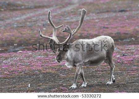 Svalbard - big male reindeer on tundra - stock photo