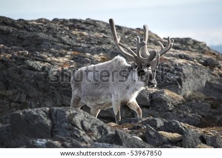 Svalbard reindeer - stock photo