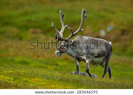 Svalbard Reindeer, Rangifer tarandus, with massive antlers, Svalbard, Norway - stock photo
