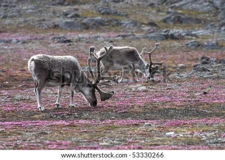 Svalbard wild reindeers on tundra - stock photo