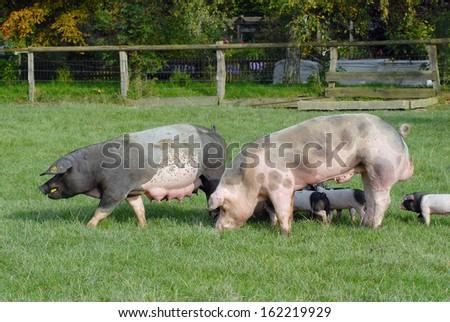 Swabian Pig, German Breed - stock photo
