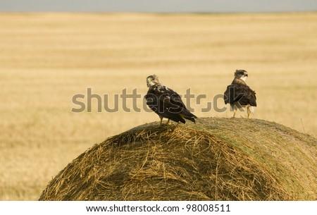 Swainson Hawks on Hay Bale after storm Saskatchewan - stock photo