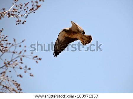 Swainson's Hawk in flight - stock photo