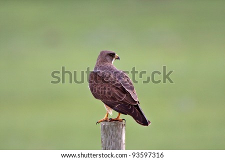 Swainson's Hawk perched on fence post - stock photo