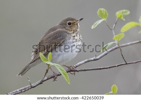 Swainson's Thrush (Catharus ustulatus) perched in a shrub during spring migration - Ontario, Canada - stock photo