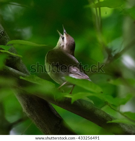 Swainson's Warbler (Limnothlypis swainsonii) singing from a branch - stock photo