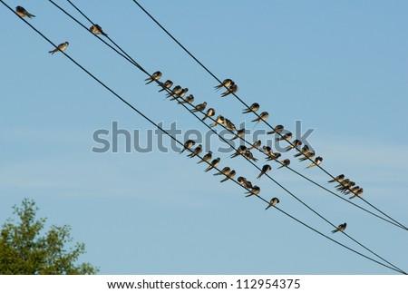 Swallow - stock photo
