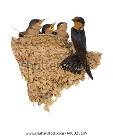 Swallow and baby birds in nest on white. - stock photo
