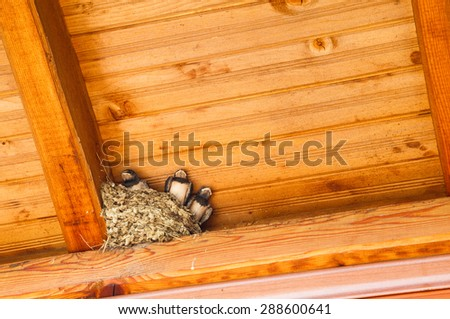 Swallow baby birds in nest under a wooden shelter. - stock photo