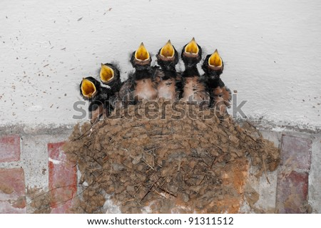 Swallow nest with six hungry baby birds calling for food - stock photo