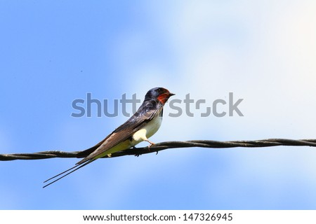 Swallow on a wire - stock photo