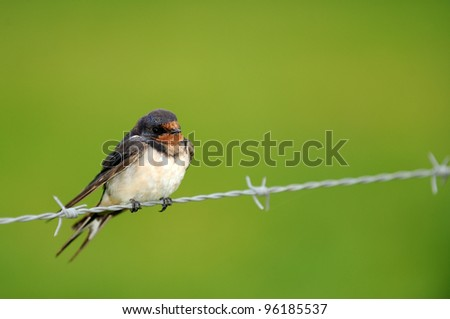 Swallow on a wire in the rain - stock photo
