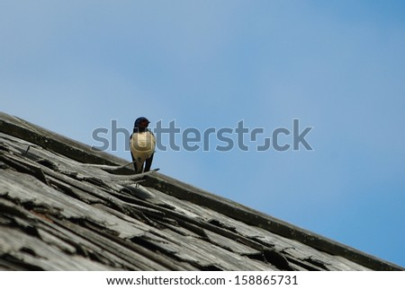 Swallow sitting on the roof