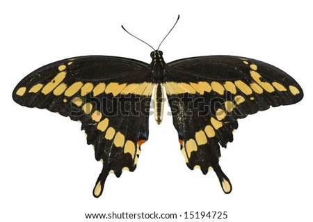 Swallow,Tail Butterfly - stock photo