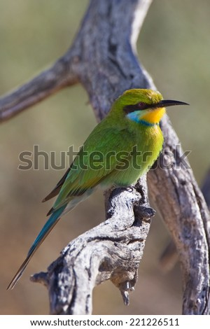 Swallow tailed bee-eater (Merops hirundineus) perched on a dead branch against, blurred natural background, South Africa - stock photo