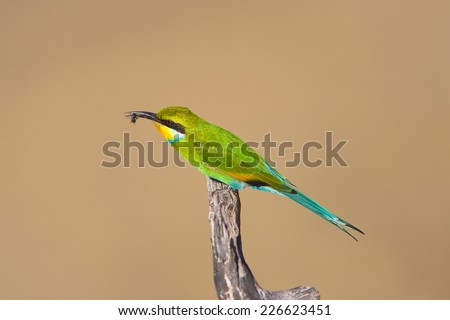 Swallow tailed Bee-eater (Merops hirundineus) perched on a dead branch with a bee in it's beak, against a plain, natural background, South Africa - stock photo
