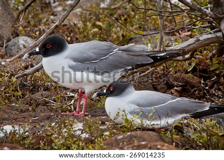 Swallow tailed gulls in the Galpagos Islands, Ecuador - stock photo