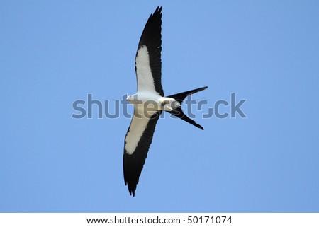 Swallow-tailed Kite (Elanoides forficatus) in flight hunting in the Florida Everglades - stock photo