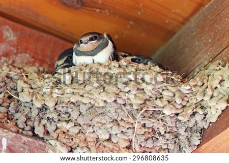 swallows baby birds in the nest - stock photo