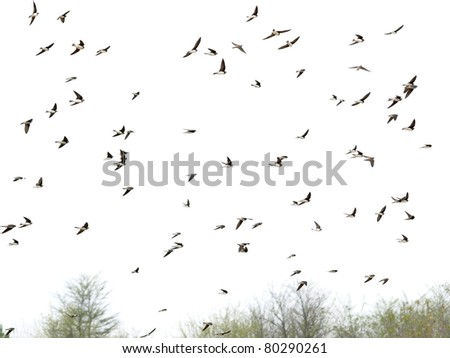 Swallows, flock of  birds  (Sand Martin ) isolated on white backgrounds, textures - stock photo