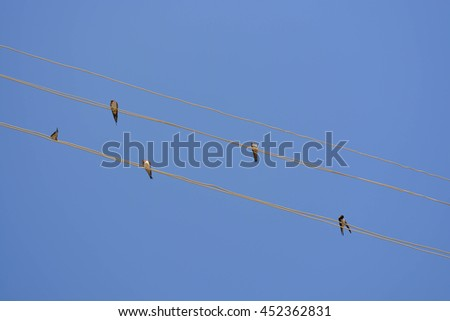 Swallows on wires