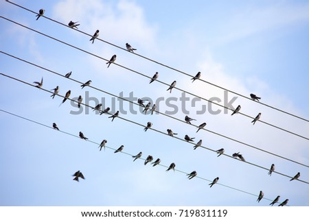 Swallows Sitting on Electricity Wires in Czech Countryside.