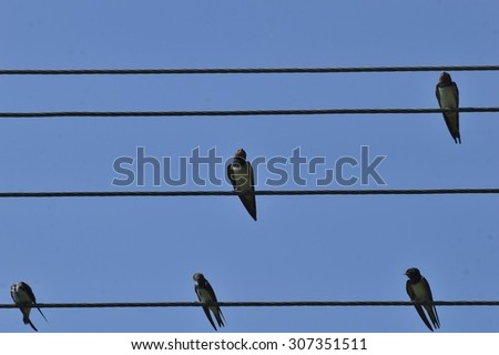 swallows sitting on wires like trends - stock photo