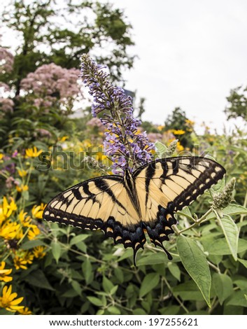 Swallowtail butterflies are large, colorful butterflies in the family Papilionidae, which includes over 550 species,plants,summer,swallowtail