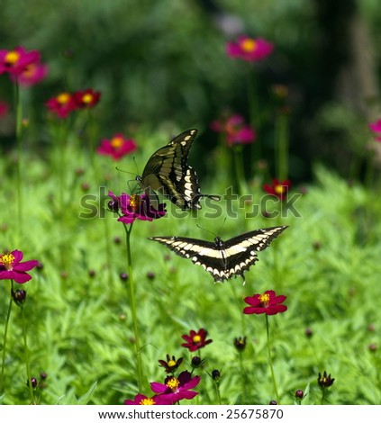 Swallowtail butterflies (Papilio Paeon|)  at play amongs flowers, Ometepe Island, Nicaragua - stock photo