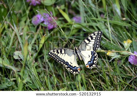 Swallowtail butterfly : close up of  large colored butterfly with taillike projections