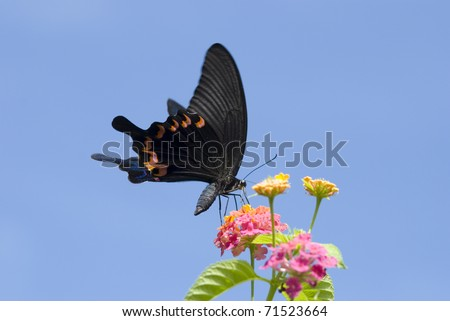Swallowtail butterfly feeding on colorful flowers  (Papilio bianor thrasymedes, Papilionidae) - stock photo