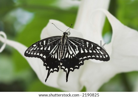 Swallowtail butterfly on a white lily - stock photo