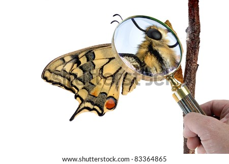 Swallowtail butterfly on its chrysalis. A magnifying glass show details. - stock photo